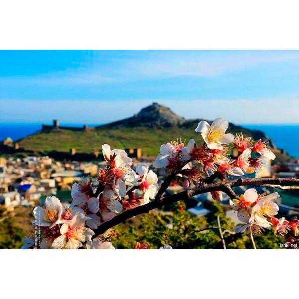 Весенний Крым: цветение миндаля